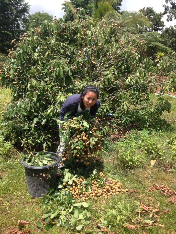Organic Longan Harvest Chiang Mai
