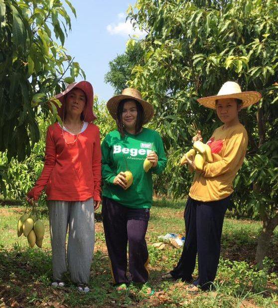 Organic Mango Harvest Chiang Mai