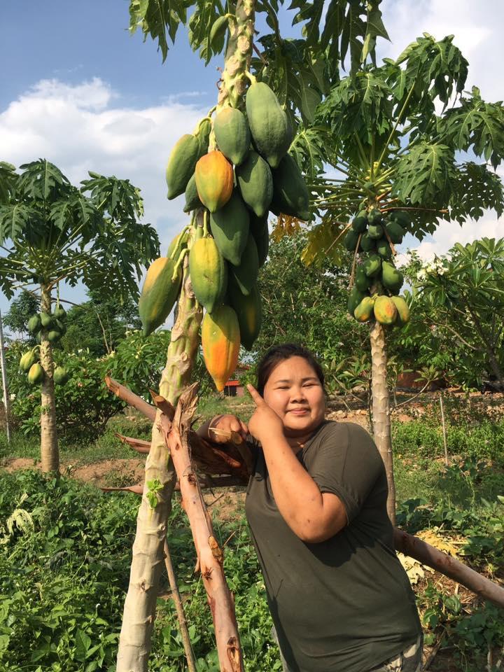Organic Papaya Harvest Chiang Mai